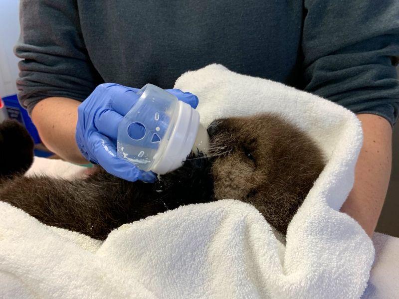 溫哥華水族館救援失去媽媽「海獺寶寶」 喝奶萌樣超犯規