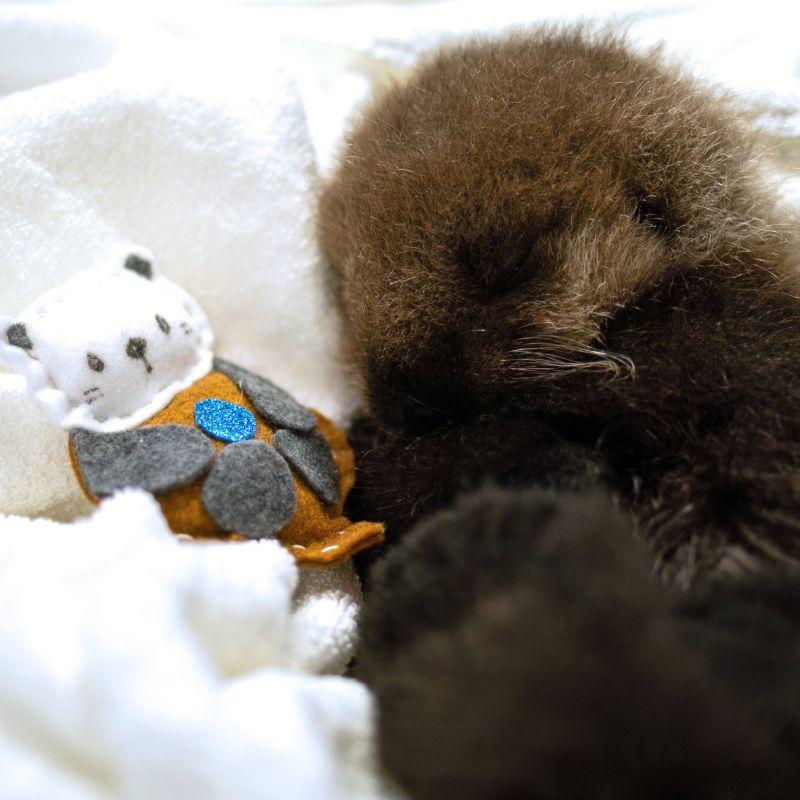 ▲海獺寶寶恢復體力,相伴可愛的玩偶入睡。(圖/Twitter@vanaqua)