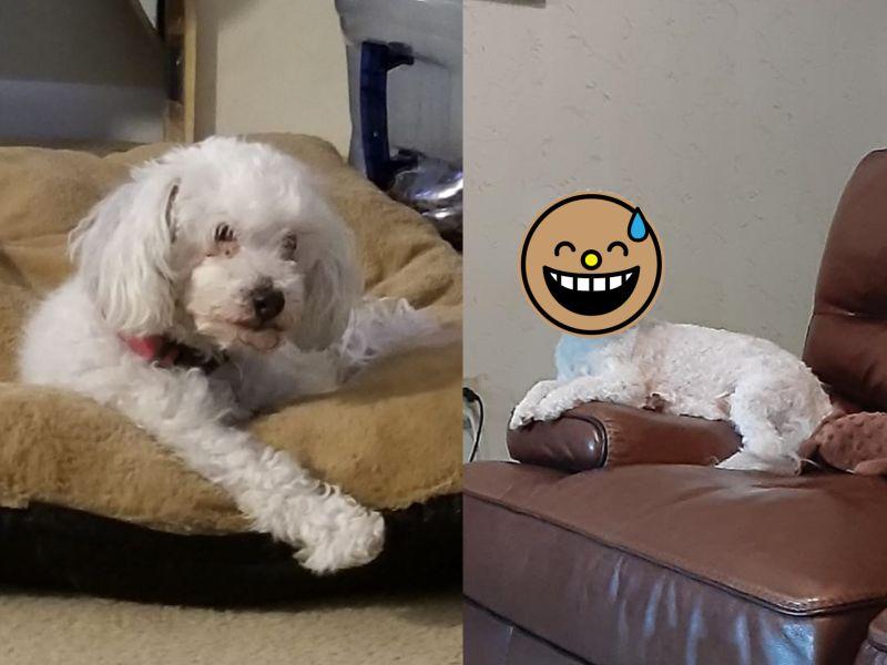狗狗不願剃毛美容師要求帶回 飼主一看半成品笑噴!