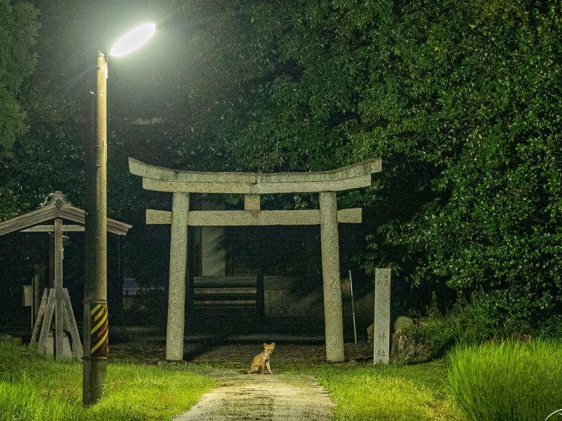 日本推主幸運直擊坐鎮神社「小<b>狐狸</b>」 網友:快供奉豆皮