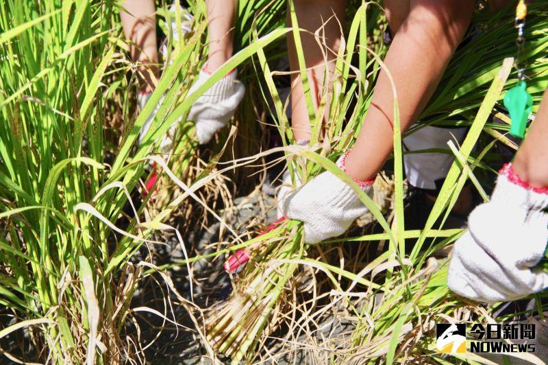▲每年 6 月及 10 月收割期,玉里鎮公所都會舉行「稻田腳印餐桌」,用人工一刀刀割出黑熊腳印及台灣的形狀。(圖/記者陳致宇攝)