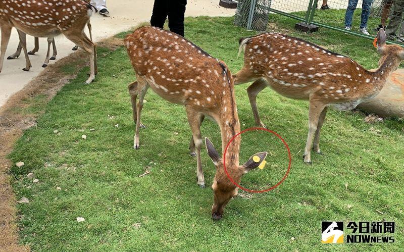 6隻美麗的梅花鹿中,戴有「黃色」耳掛標示的,是前總統馬英九親自命名,且已經懷孕即將臨盆的「馬小九」。(圖/記者陳惲朋攝)