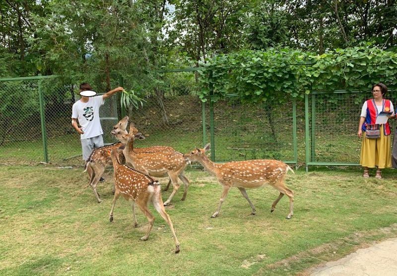 ▲在園區裡,遊客可以親自餵養、親近梅花鹿。(圖/記者陳惲朋攝)