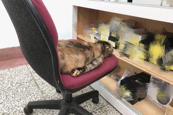 ▲這天陳小姐突然看見Q醬以奇怪臥姿趴在椅子上睡覺(圖/FB@饅饅愛茶茶授權提供)
