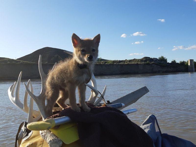 男子釣魚意外跌進河裡 竟撈回一隻垂死小萌狼!