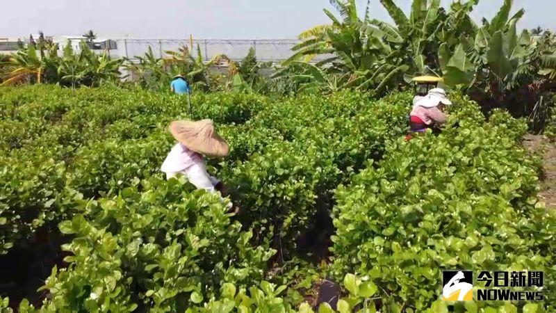 ▲彰化縣花壇鄉是台灣最大的茉莉花產地。(圖/記者陳雅芳攝,2020.07.22)