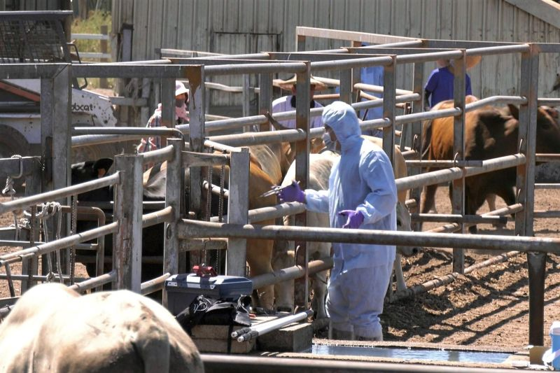 ▲去年7月金門發生國內首起牛結節疹案例,並於同月底獲得控制。(圖/NOWnews資料照)