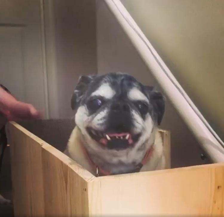 主人為了讓老犬輕鬆上下樓梯,特地打造「狗狗電梯」。(圖/IG@sonyakrayz)