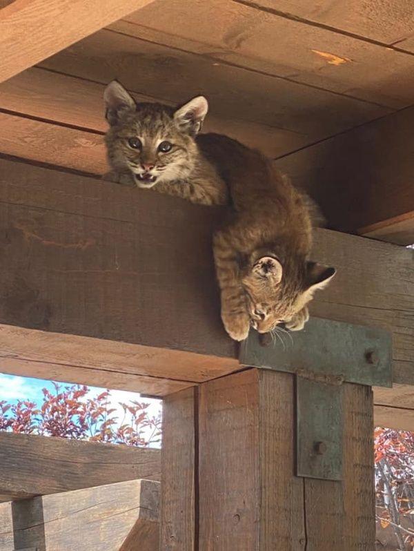 ▲雖然前面都只看到3隻小截尾貓在媽媽身邊,其實另外2隻特別好動的早已攀上凱西家的柱子啦!(圖/Facebook@Kathy