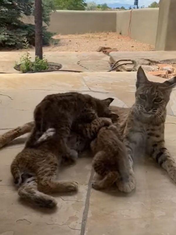 ▲截尾貓媽媽自在地在落地窗前餵奶,凱西非常驚喜能這麼近距離看到,而且就在家中!(圖/Facebook@Kathy