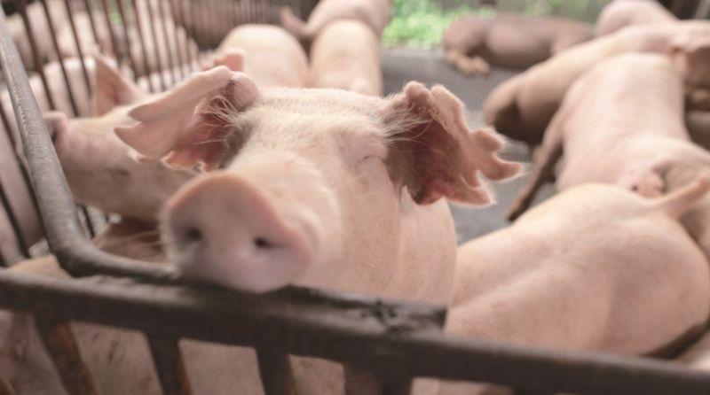 ▲台糖認為,台灣豬肉一定要外銷,產業才有升級的動力!而台糖做為養豬國家隊,也希望一起帶動產業發展。(圖/台糖提供)