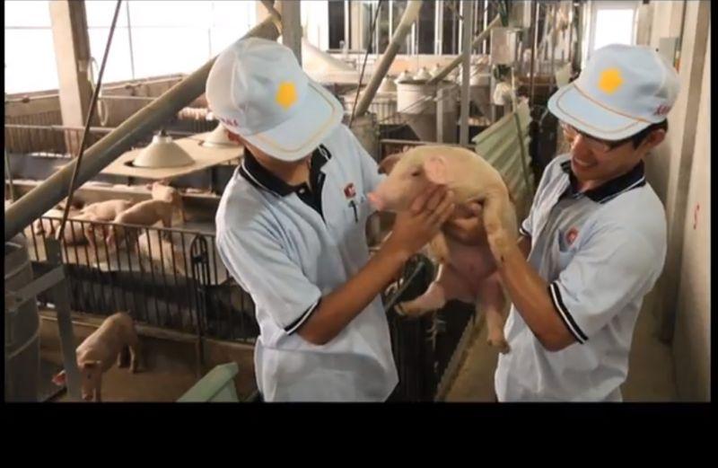 ▲大成不僅是飼料及肉雞大廠,前幾年在國內更斥資超過6億元投資種豬事業,對於台灣豬要外銷海外,首先認為產業設備一定要提升來拉高育成率。(圖/擷取自youtube大成長城DACHAN-大成桐德牧場)