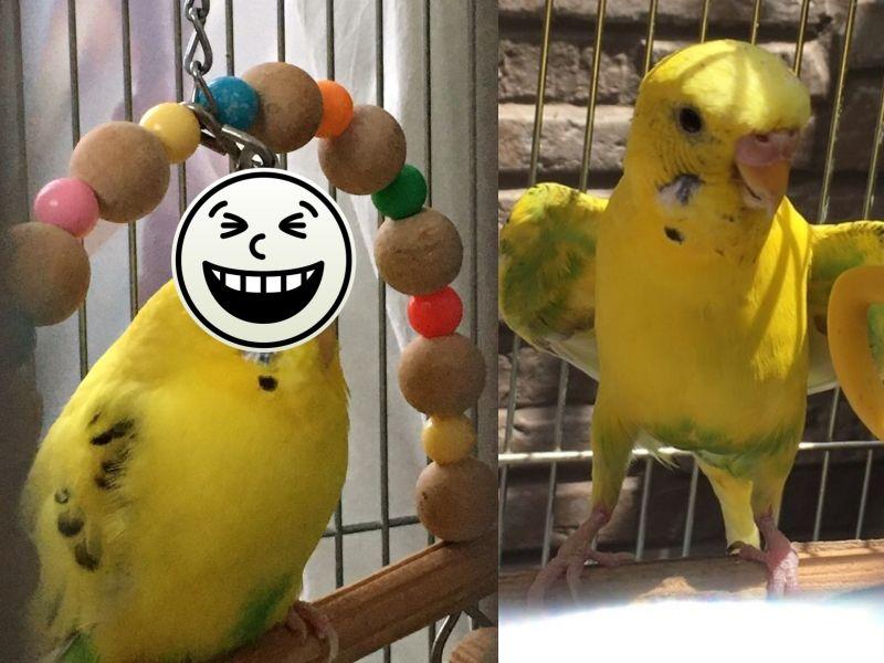 推主家的虎皮鸚鵡示範「正確玩法」,主人當場看傻:鳥界流行?(圖/Twitter@Hi_spec_)