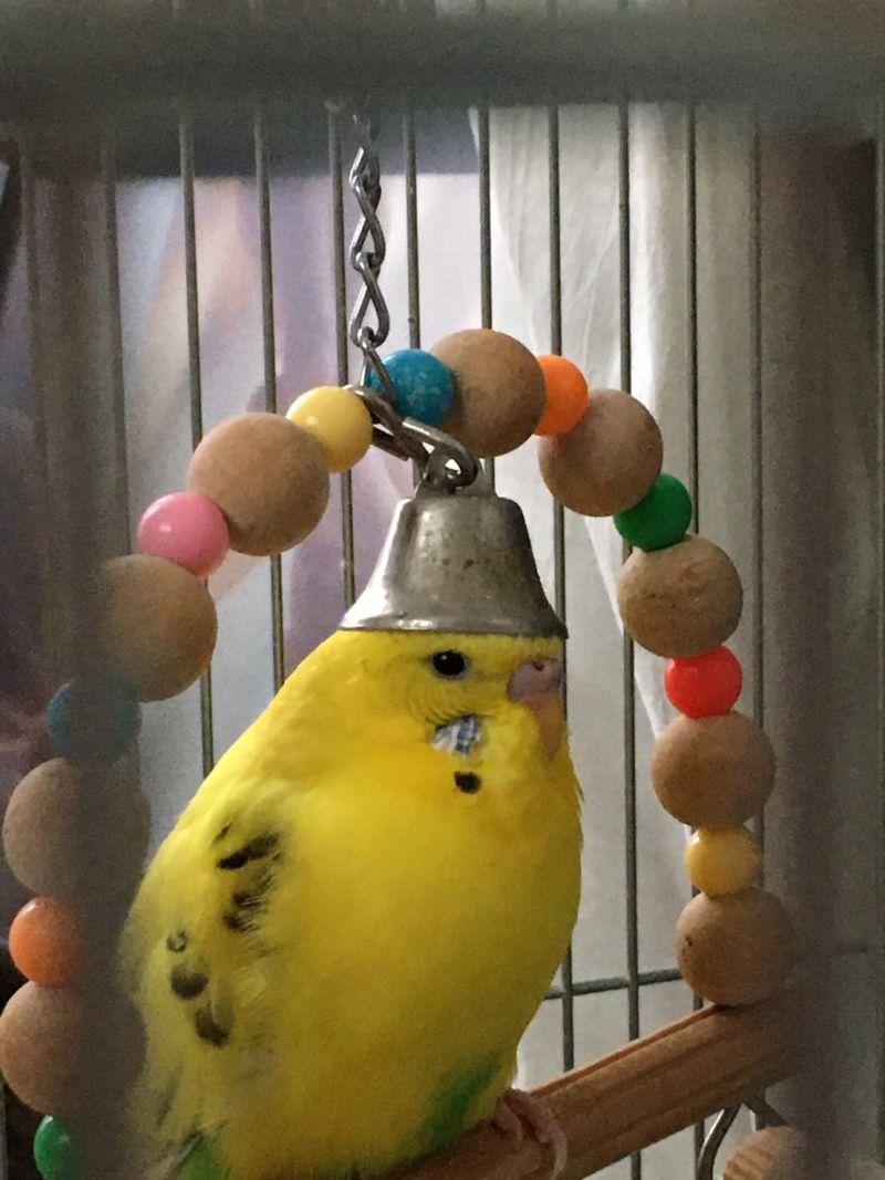▲推主家的虎皮鸚鵡示範「正確玩法」,戴帽子的樣子令人笑噴!(圖/Twitter@Hi_spec_)