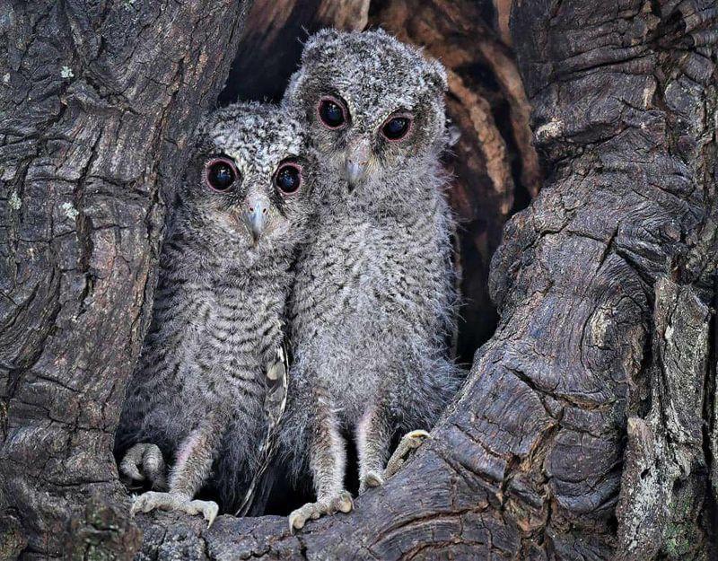 影/搶拍領角鴞害幼鳥跌出窩?<b>黃蜀婷</b>:是幼鳥正常離巢