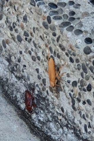 ▲網友在路邊見到「異色蟑螂」。(圖/翻攝自
