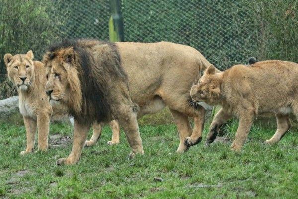 ▲鹿特丹動物園日前上演女兒欺負阿爸的戲碼(圖/翻攝自flicker@Johanna