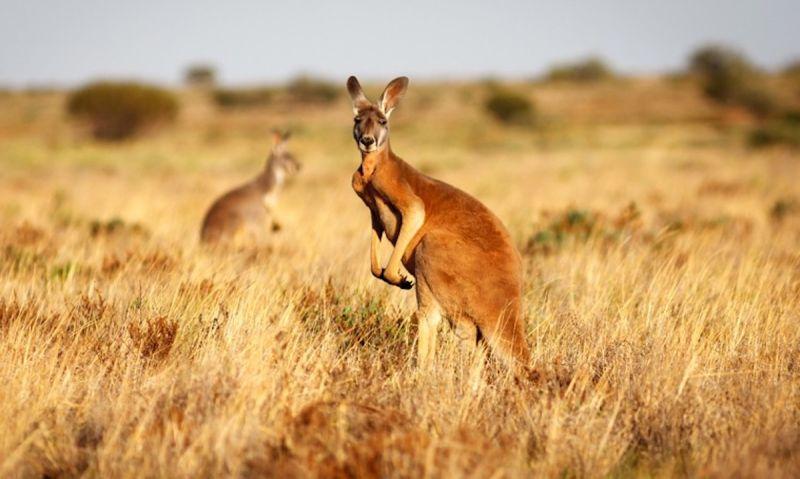 袋鼠/澳洲