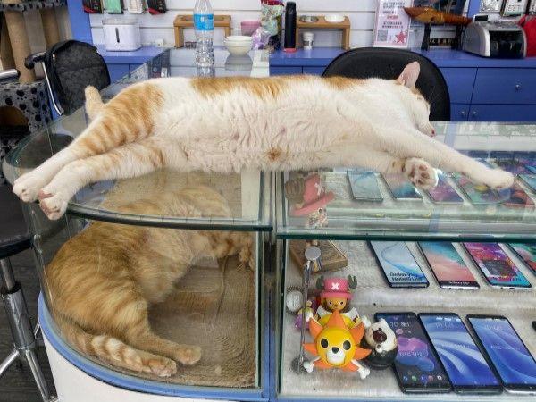 ▲網友經營的手機店裡有兩隻不務正業的店貓,躺在展示櫃上呼呼大睡,完全無視客人存在,還讓上門的客人降低音量說話(圖/網友魏文宗授權提供)