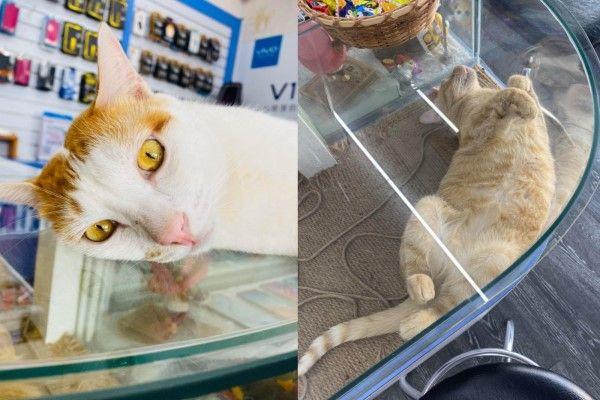 ▲雖然身為店貓應該要好好招攬客人,但是牠們經常不是在放空就是在睡覺(圖/網友魏文宗授權提供)