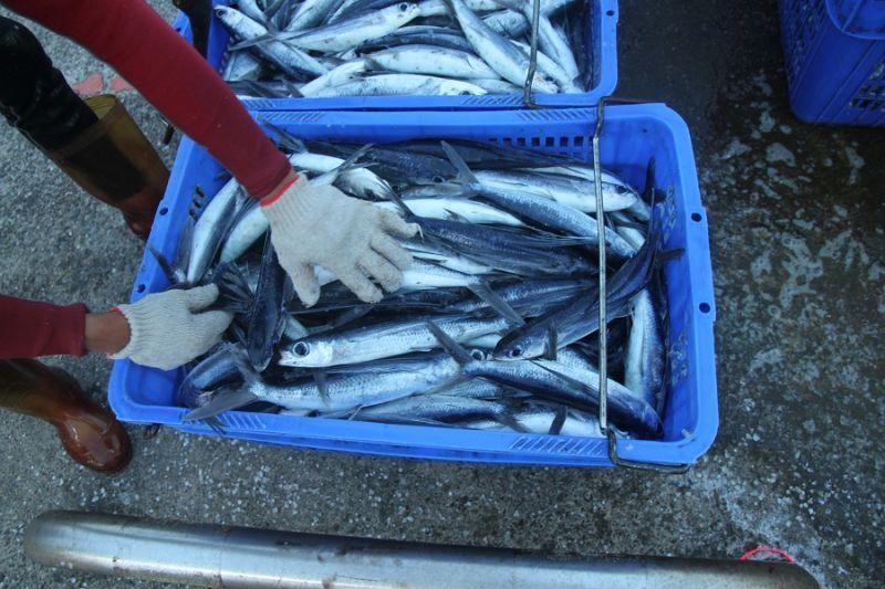▲109年度飛魚卵漁業總容許漁獲量為300公噸,漁期自5月15日起開始,預計7月31日結束。。(圖/新北市農業局提供)