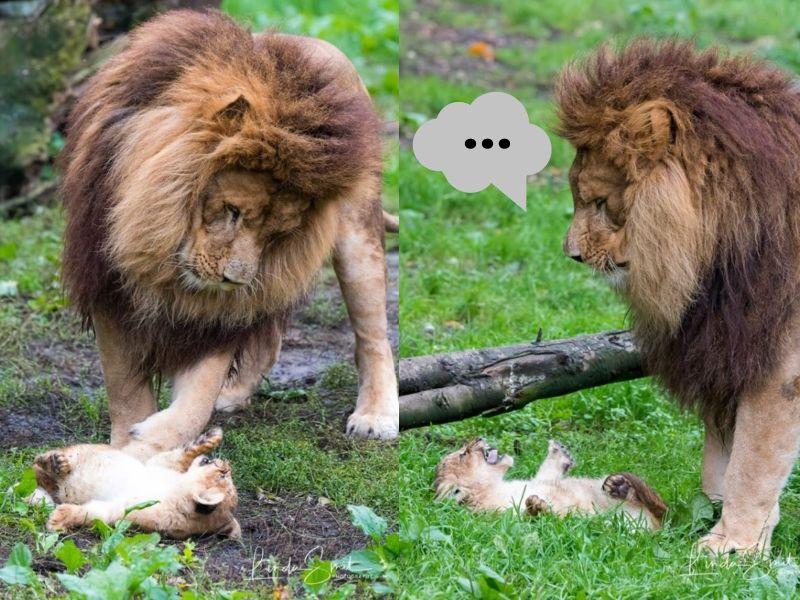 媽不在家公獅擔任<b>奶爸</b> 牠手忙腳亂好憂愁:老婆快回來!