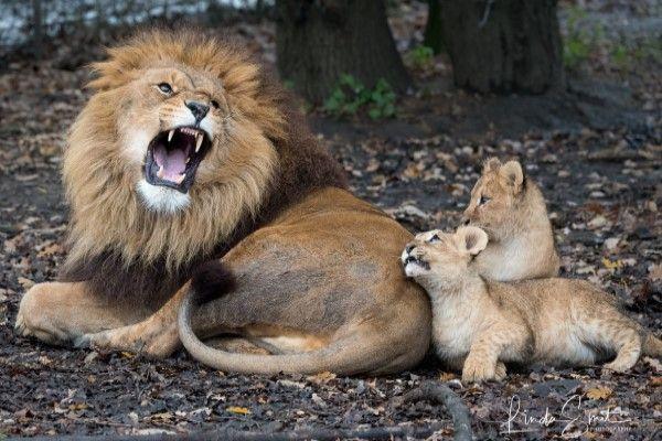 ▲比利時一頭公獅因為母獅不在家,臨時擔任起奶爸照顧小獅卻手忙腳亂(圖/FB@Linda