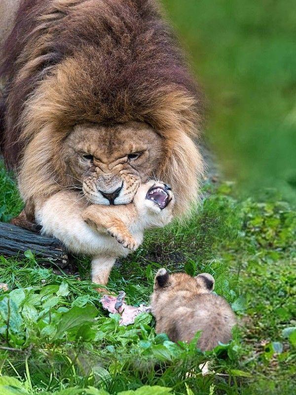 ▲幼獅:偶鼻要!偶鼻要!倫家要在這裡玩!(圖/FB@Linda