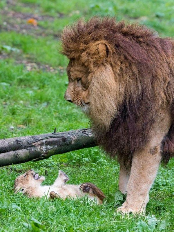 ▲公獅:帶小孩好難喔,老婆什麼時侯才會回來啊!心好累……(圖/FB@Linda