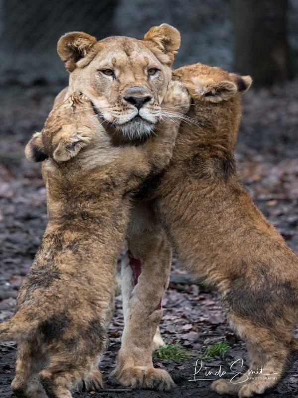 ▲幼獅:馬麻妳終於回來惹,偶們好委屈喔!(圖/FB@Linda