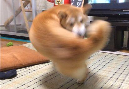 ▲柴犬轉身的瞬間,尾巴看起來就像揮出去的右勾拳。(圖/翻攝自@Kazu_nekogasuki的推特)