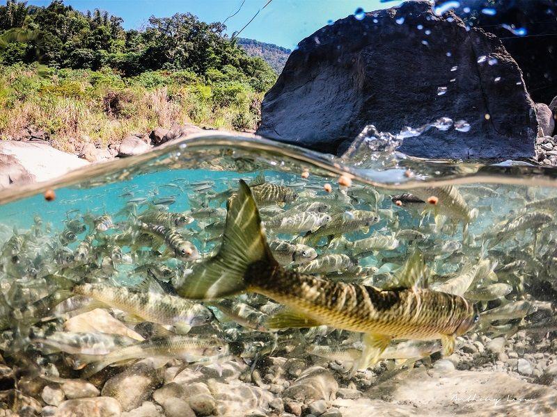▲阿里山鯝魚