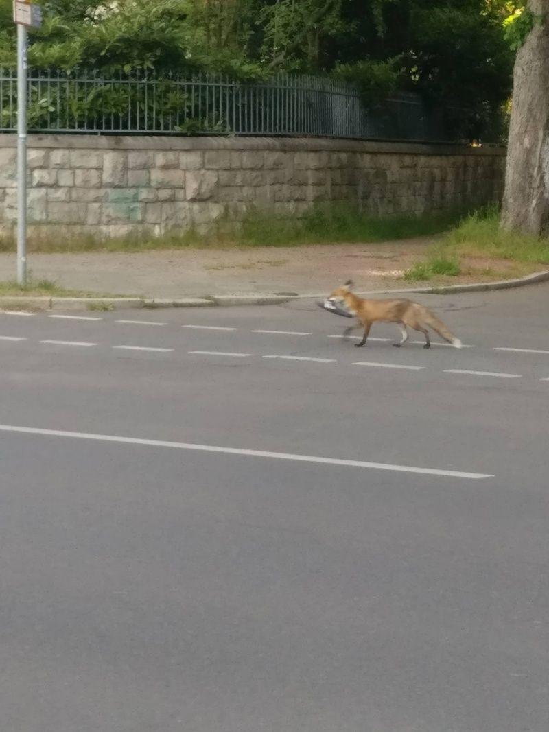 ▲其他網友分享目擊狐狸偷鞋的照片。(圖/Twitter@Sachtleben1)