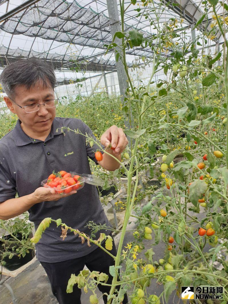 經濟部SBIR補助支持     智耕創新開發低鉀番茄即將上市
