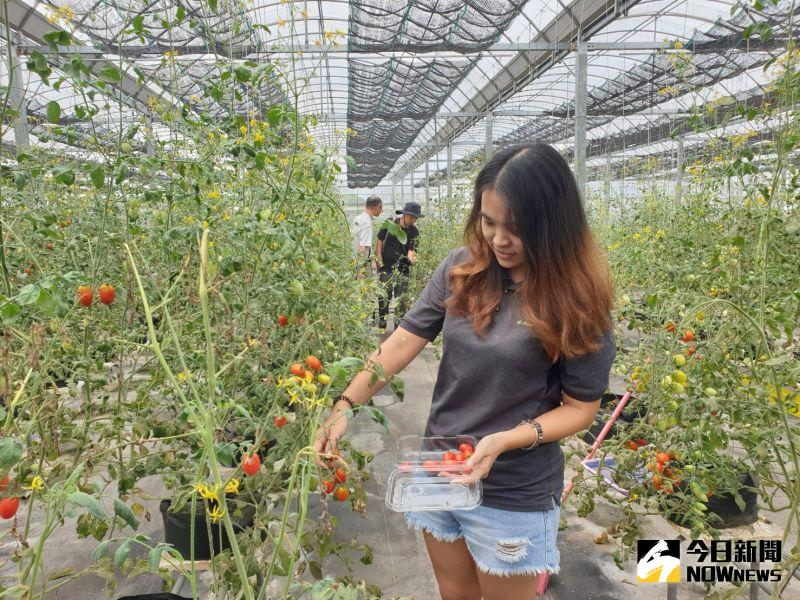▲智耕創新團隊在新社山區培育的低鉮蕃茄,株株結實纍纍。(圖/金武鳳攝,2020.8.4)