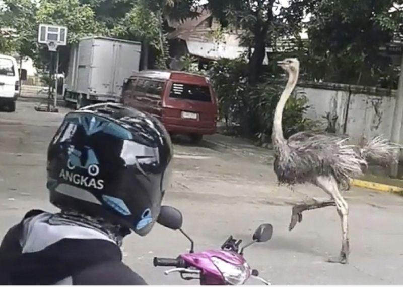 影/菲律賓驚見鴕鳥大奔逃!警衛一句話勸退讓網友笑翻