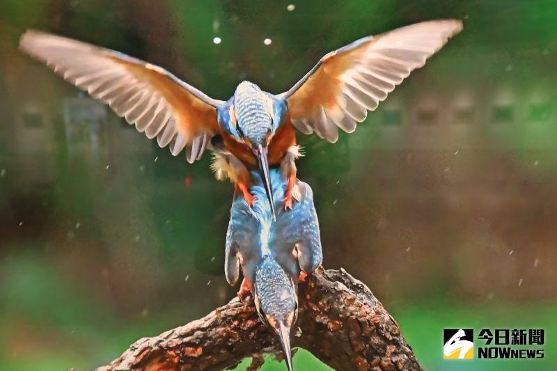 ▲許桂益的生態攝影作品帶有大自然亮麗的色彩與豐富的樣貌,猶如進入一個美得令人嘆為觀止的生態世界。(圖/記者陳雅芳攝,2020.08.06)