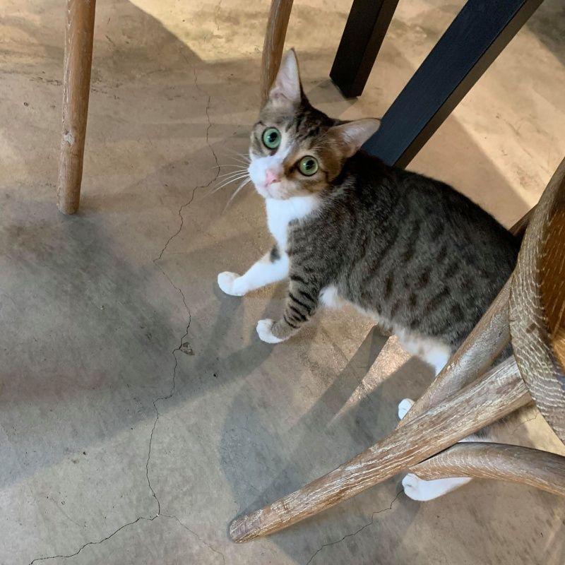 ▲白底虎斑貓阿林是個超調皮的孩子,但也是家中最愛撒嬌的。(圖/網友陳品閎提供)