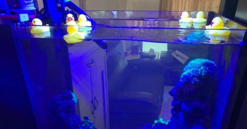 海水缸被「黃色小鴨」入侵!女一看好傻眼:真的會被氣死