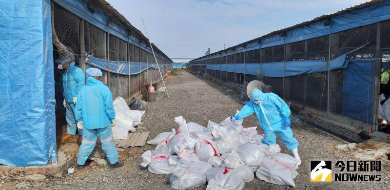 二林鎮土雞場確診H5N5亞型高病原性禽流感 <b>撲殺</b>清場