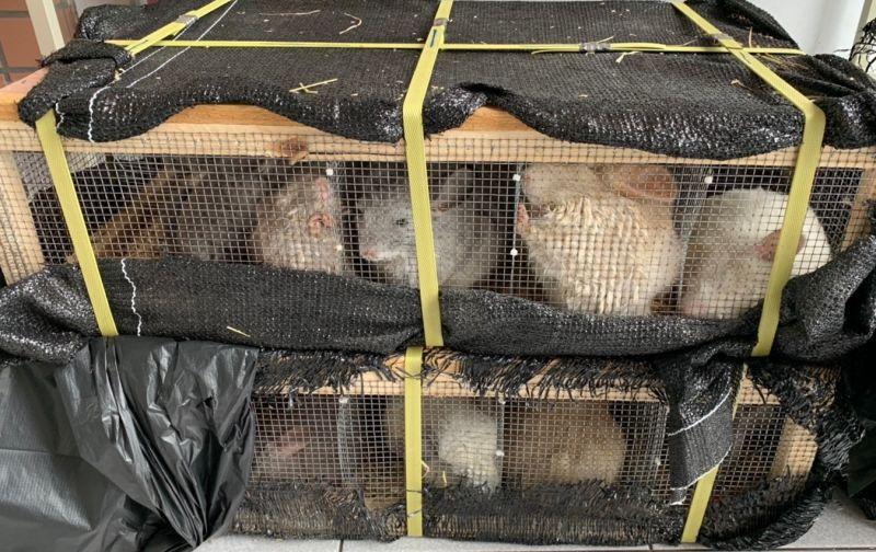 ▲高雄港首次查獲大批保育類龍貓鼠。(圖/記者黃守作攝,2020.08.11)