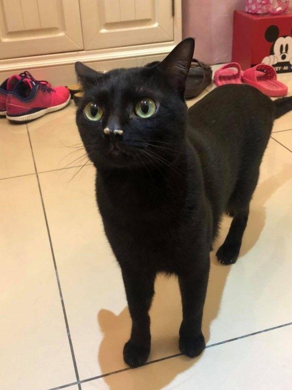 ▲黑貓「小黑天」上完廁所會認真聞貓砂變成「鼻塞」,讓奴才都要幫忙擦鼻子(圖/網友Titan