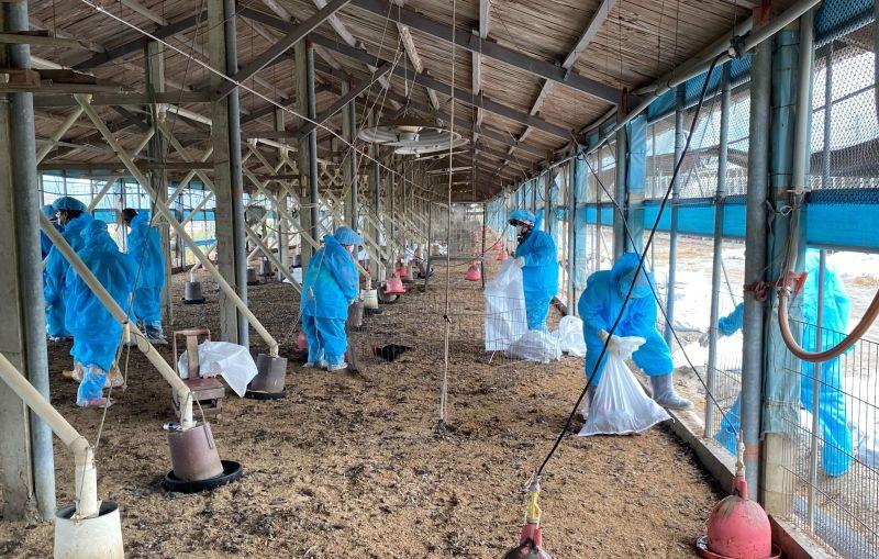 雲林禽流感疫情發燒中 今2處撲殺2萬7千隻
