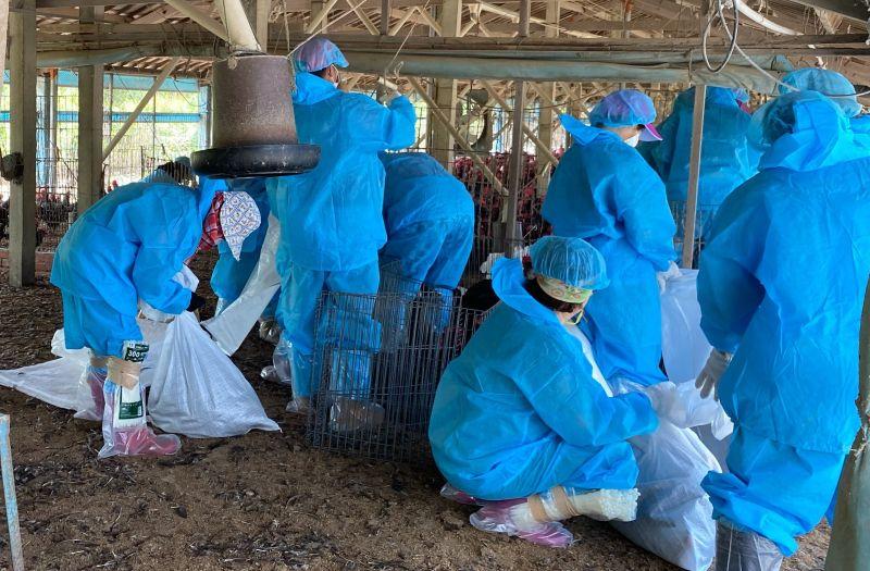 ▲雲林縣全縣今年已累計有27場染疫,共撲殺31萬多隻雞鴨。(圖/記者簡勇鵬攝,2020.08.13)