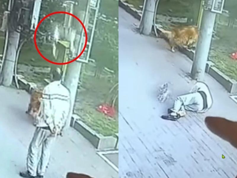 ▲日前在中國大陸黑龍江省的哈爾濱市一名年長老人帶著自家大狗出門散步時,竟遇到一隻貓咪「從天而降」砸落。(圖/Facebook@The Online Citizen Asia)
