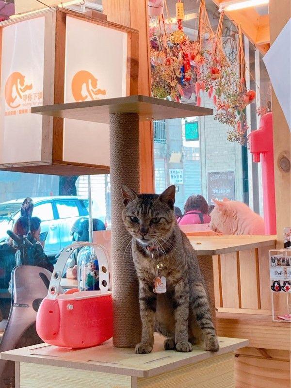 ▲伽利略擔任店貓短短一星期,就已經學會在門口等客人「撸牠」(圖/粉專等你下課Waiting