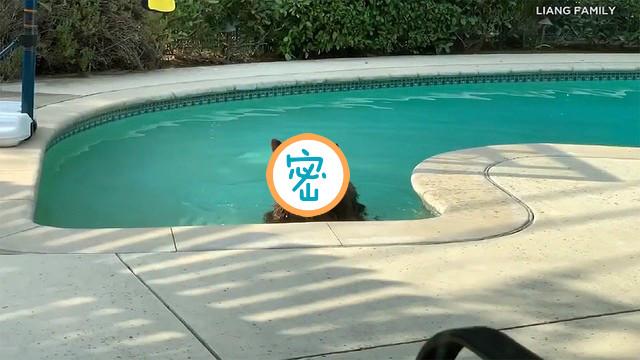加州氣溫飆!泳池遭「棕毛怪客」入侵 全家嚇傻:我投降