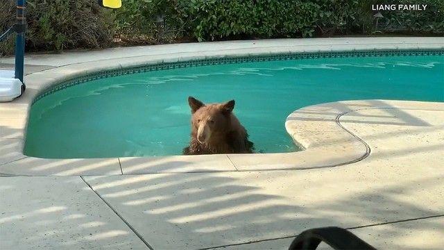 ▲美國加州氣溫飆高,一位居民就發現自家泳池闖入了「棕毛怪客」,讓他嚇得退回房內,只好認輸等他泡夠了離開。(圖/翻攝自臉書《AccuWeather》)