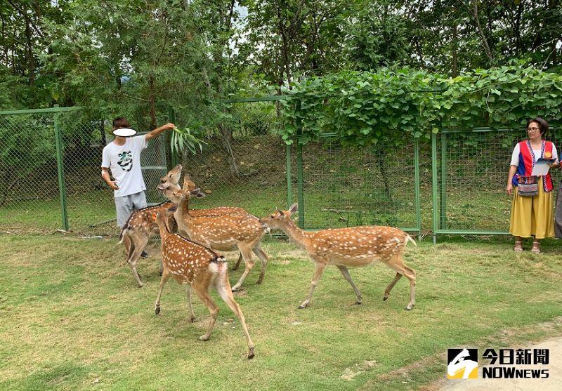 ▲嘉義縣山區的逐鹿社區的梅花鹿園,遊客可以親近並且餵養梅花鹿。(圖/記者陳惲朋攝)