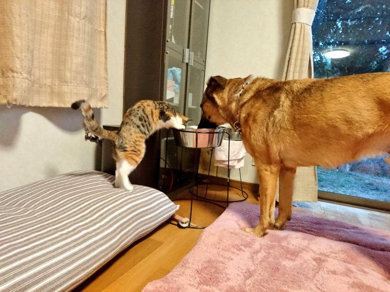 日本推主養的三花貓,就算踮腳腳來仍堅持喝大狗的水碗!(圖/Twitter@Ayoster_classic)